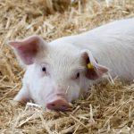 На текущий момент в Российской Федерации сложилась неблагоприятная ситуация по африканской чуме свиней (АЧС)